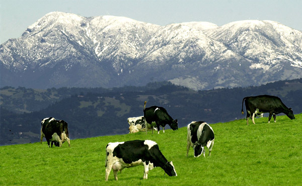 kp0213_Snow_cows.jpg