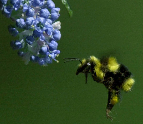 kp0408_Bumble_bee.jpg