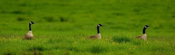 kp0324_Geese