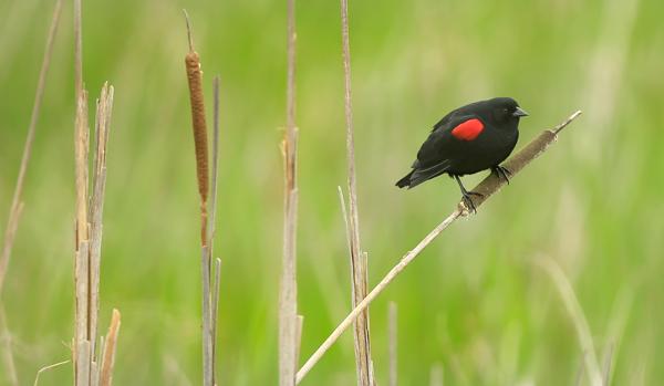 kp0401_Blackbird