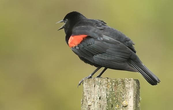 kp0401_Blackbird2