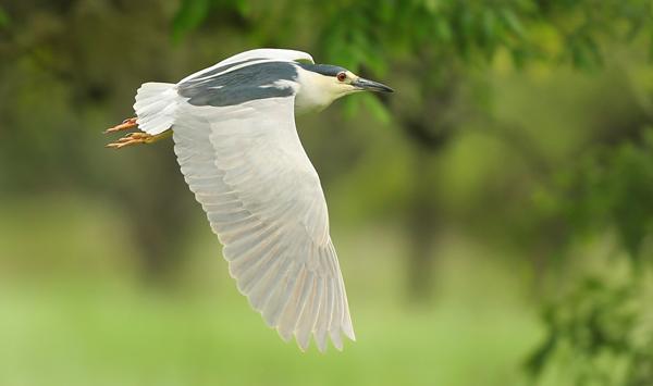 kp0421_Heron_fly