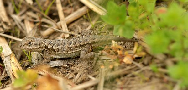 kp0421_Lizard