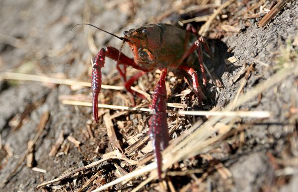 kp0822_Laguan_Crayfish