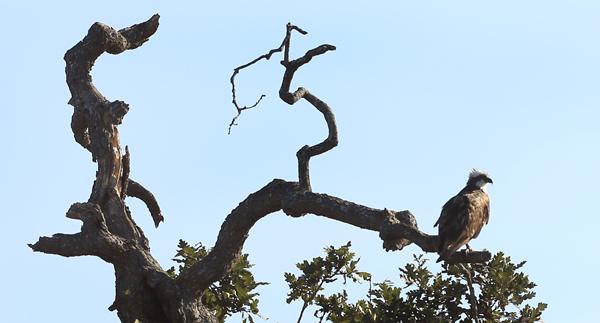 kp0822_Laguna_osprey