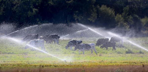 kp0822_laguna_cows