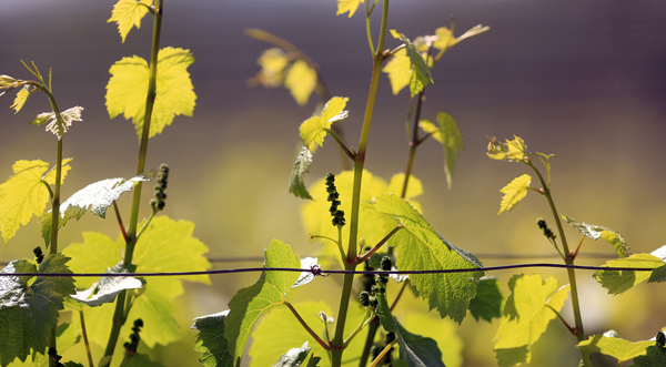 Some growing regions around Sonoma County saw bud break in late January.  Grape clusters form, Thursday March 19, 2015. (Kent Porter Press Democrat)