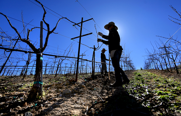 Daniel Cortez, left  and Juan Perez help farm Chuck McCoy's 45 acres of wine grapes in the new American Viticultural Area, the Fountaingrove District, Tuesday Feb. 24, 2015 above Santa Rosa.  (Kent Porter / Press Democrat) 2015