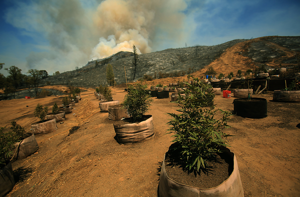 A pot grow in the Jerusalem fire burn area in Lake County, Monday Aug. 10, 2015.  (Kent Porter / Press Democrat) 2015