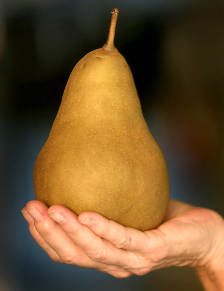A golden bosc pear weighing in at nearly 1.2lbs, Monday Aug. 24, 2015 at Scully Packing Co. in Finley. (Kent Porter / Press Democrat) 2015