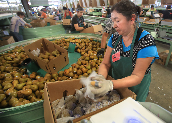 Maria de Jesus Macias of Kelseyville packs golden bosc pears Monday Aug. 24, 2015 at Scully Packing Co. in Finley near Kelseyville in Lake County. (Kent Porter / Press Democrat) 2015