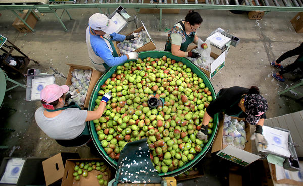 Pears are packed by hand, Monday Aug. 24, 2015 at Scully Packing Co. in Finley near Kelseyille in Lake County.  (Kent Porter / Press Democrat) 2015