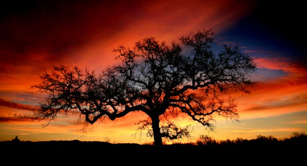 In Windsor, Thursday Feb. 11, 2016 a late winter sunrise paints the sky over a valley oak.  (Kent Porter / Press Democrat) 2016