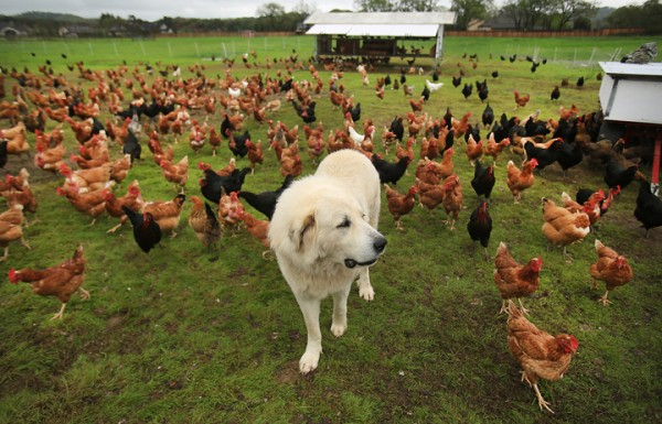 Wise Acre Farm Great Pyrenees Buddy, watches over the flock off Arata Lane in Windsor, Friday March 3, 2016. The egg stand is open again after a dispute with a winery about a right-of-way was solved after owner Bryan Boyd put in his own entrance to the farm.  (Kent Porter / Press Democrat) 2016