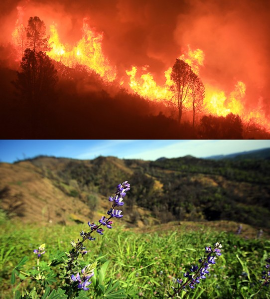 The Rocky Fire on Morgan Valley Road, July, 2015 in Lake County. On April 8, 2016, lupine grows. (Kent Porter / Press Democrat) 2015