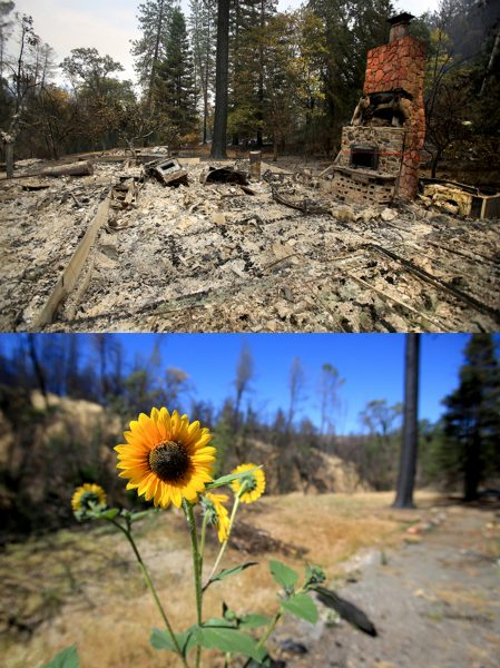 Barbara McWilliams, 72, of Anderson Springs, was discovered Sunday Sept 13, 2015 in her home, a victim of the Valley fire. On Tuesday July 19, 2016 a sunflower grows next to the footprint of the home. (Kent Porter / Press Democrat) 2015