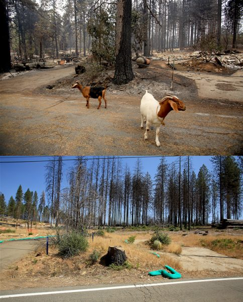 Goats were let out their enclosure in hopes that they would survive the Valley fire in September of 2015, which they did. A year later, the houses and most of the trees are gone on Gifford Springs Road, Tuesday Sept. 6, 2016. (Kent Porter / The Press Democrat) 2016