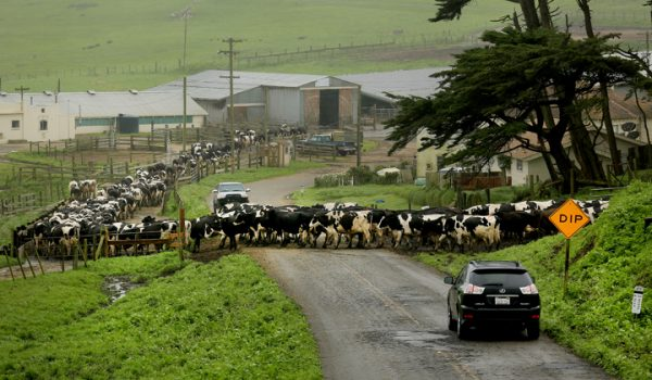 At the historic A Ranch at the Pt. Reyes National Seashore, holstein head to the milking bran, Tuesday March 8, 2016, creating a temporary cow blockade on the road to the lighthouse. (Kent Porter / Press Democrat) 2016